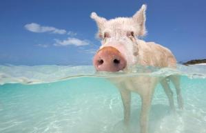 swimming-pig-2_1444701i